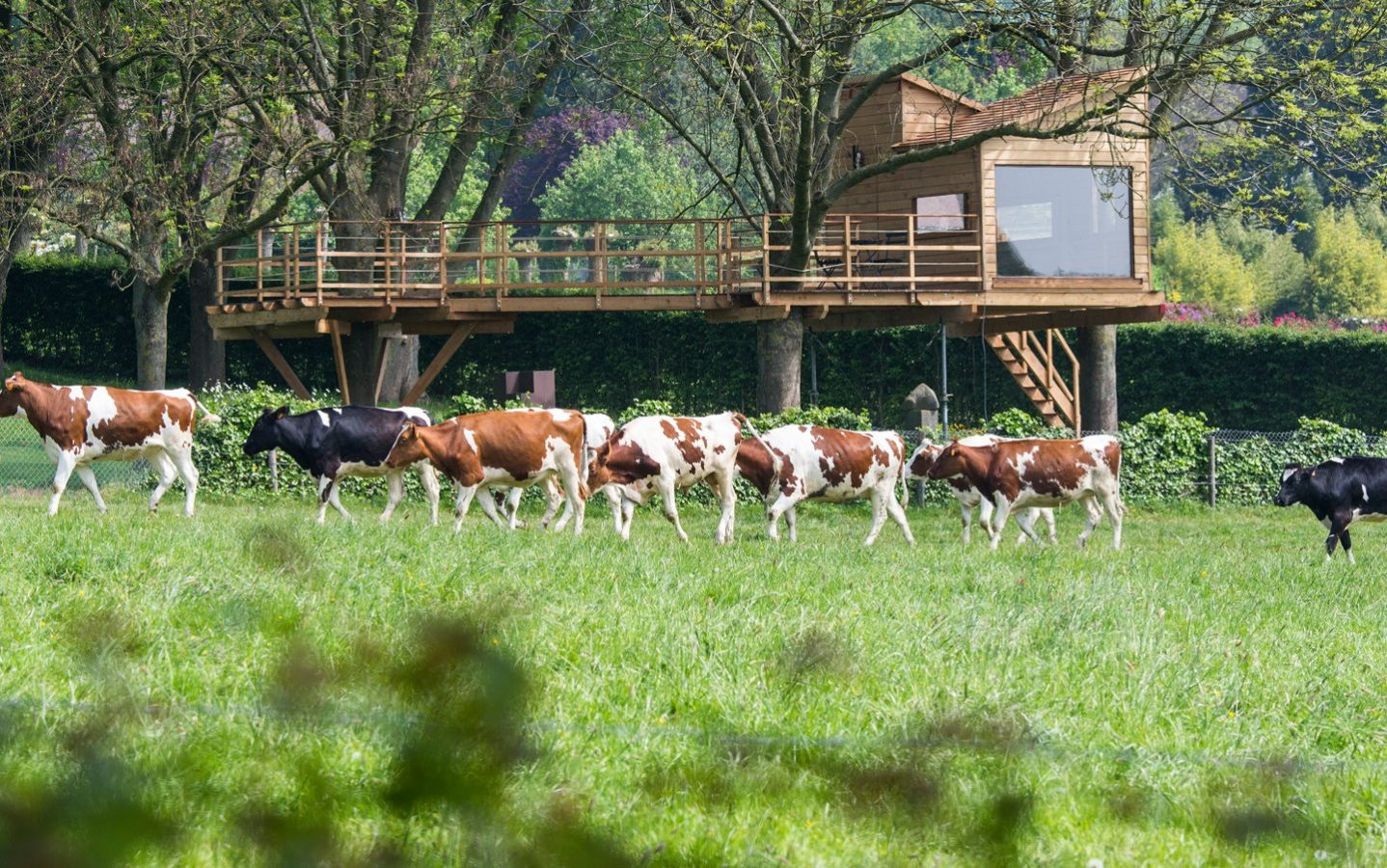 boomhut met koeien in een wei