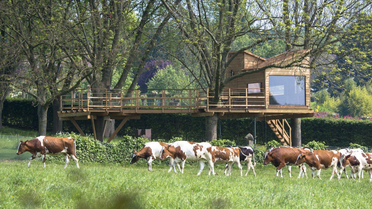 Boomhut met koeien in de wei